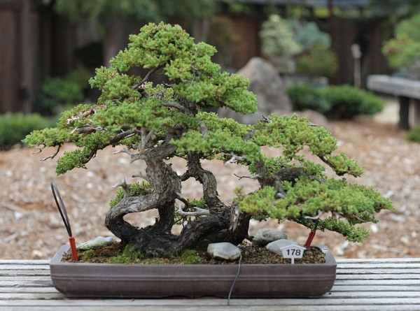 Bonsai-Tree-Meaning-600x445